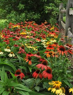 Great show for a native perennial border in New England - Cheyenne Spirit Echinacea Coneflower Flowers Perennials, Planting Flowers, Beautiful Gardens, Beautiful Flowers, My Secret Garden, Plantar, Flower Farm, Dream Garden, Colorful Flowers