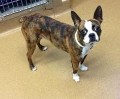 beautiful black brindle and white boston terrier puppies meet pammy a boston terrier mix who is 1 2 years old and 9413