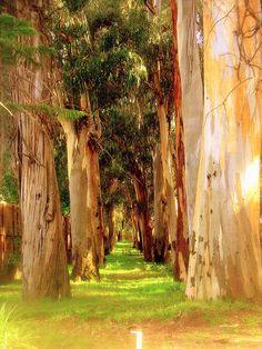 Eucalyptus alley...