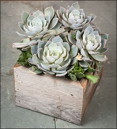 Forever Silver Rose Succulent Garden Box - FREE Shipping!  $33.95 http://www.easytogrowbulbs.com/p-1680-forever-silver-rose-succulent-garden-box-free-shipping.aspx