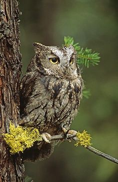 Western Screech Owl (Megascops kennicottii) native to North and Central America Beautiful Owl, Animals Beautiful, Cute Animals, Owl Photos, Owl Pictures, Owl Bird, Pet Birds, Western Screech Owl, Nocturnal Birds