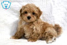 Serenity | Maltipoo Puppy For Sale | Keystone Puppies