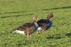 Greylag Goose (Anser anser), Ardersier, UK