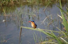 Beautiful kingfisher in Selenkay Conservancy (Amboseli eco-system).
