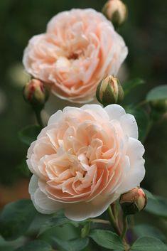 'Lichfield Angel' | Shrub. English Rose Collection. David C. H. Austin, 2005 | Flickr -  ©  rhodocallis2007