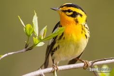 Blackburnian Warbler -- photographed in Southern WI during spring migration 2014