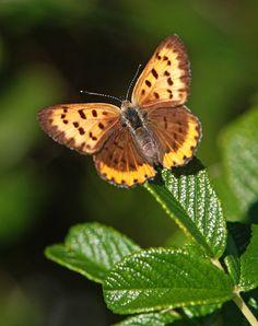 Bronze Copper - Female