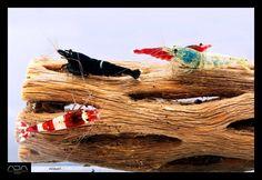 freshwater shrimp   Tumblr