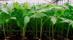 Рассаду помидоров поливают раствором йода для более быстрого роста (1 капля на три литра). После применения этого раствора рассада зацветёт быстрее, а плоды будут крупнее. Может йод защитить помидоры и от фитофторы. Для этого Вам понадобятся несколько капель йода и 250 грамм молока, смешайте их с 1