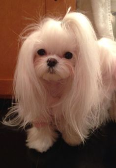 darling Maltese with long fur