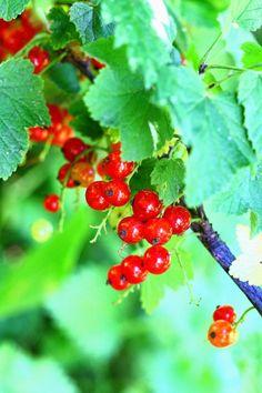 Punaherukkapiirakka kermaviilipäällisellä - Suklaapossu Cherry, Fruit, Food, Essen, Meals, Prunus, Yemek, Eten