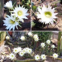 Today's stunning cactus blooms at the Gallery In The Sun! #TedDeGrazia #DeGrazia #Artist #Ettore #Ted #NationalHistoricDistrict #GalleryInTheSun #ArtGallery #Nonprofit #Foundation #Gallery #Adobe #Architecture #Art #Tucson #Arizona #AZ #SantaCatalinas #Desert #Courtyard #Cactus #Flores #Flowers #Blooms  *FYI - The rest of the week we should have several bright blooms for those who would like to take photos.