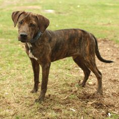 plott hound. want one soooo bad.