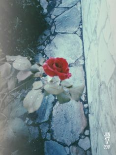 #Rose ❤🌹This flower is  very sad🌹😢Doesn't It?