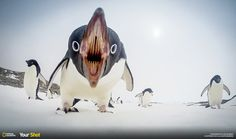You scream, I scream, We all scream for penguins. Adelie Penguin Image, Antarctica - National Geographic Photo of . Penguin Images, Penguin Love, Cute Penguins, Nature Pictures, Animal Pictures, World Press Photo, Photo Animaliere, Perfectly Timed Photos, Perfect Timing