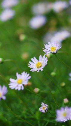 Les fleurs de Marguerites