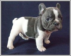 The major breeds of bulldogs are English bulldog, American bulldog, and French bulldog. The bulldog has a broad shoulder which matches with the head.