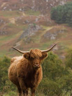 The World's Largest Poster and Print Store! Scottish Highland Cow, Highland Cattle, Scottish Highlands, Long Haired Cows, Watch Dance Moms, Scottish Animals, Fluffy Cows, Poster Art, Vintage Poster