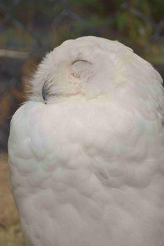 snowy owl, smiling?