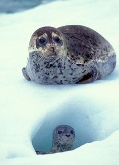 Spotted Seal mom and pup at LeConte Glacier in Alaska ~ Vida Animal, Mundo Animal, Beautiful Creatures, Animals Beautiful, Majestic Animals, Baby Animals, Cute Animals, Cute Seals, Harbor Seal