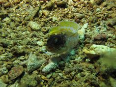 https://flic.kr/p/f9V65D | Yellow Barred Jawfish (Opistognathus sp.) | Bunaken, North Sulawesi - Indonesia