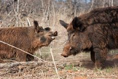 How to Call in Wild Hogs ~Outdoor Life