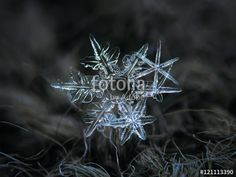 """Download the royalty-free photo """"Snowflakes glowing on dark wool background. This is macro photo photo of real snow crystals: three stellar dendrites with pointy arms and sharp edges in a cluster."""" created by Alexey Kljatov at the lowest price on Fotolia.com. Browse our cheap image bank online to find the perfect stock photo for your marketing projects!"""
