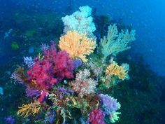 Feathery soft corals make up this bouquet of brightly-colored sea life. According to the University of California Museum of Paleontology, soft coral are members of the Octocorallia group, named for th Ocean Sleeve, Underwater Wedding, Marine Plants, Underwater Plants, Sea Plants, Life Under The Sea, Sea Floor, Floor Plants, Soft Corals