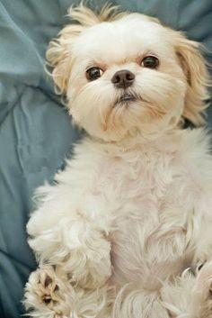 Teddy-bear-like Shih Tzu, looks like my Cookie. Oh I miss her so.