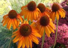 "This dark orange coneflower explodes with massive 4½"" flowers with wide petals. 'Tiki Torch' retains its intense color for weeks rather than days. The spicy-scented blooms sit atop strong and upright 36"" stems."