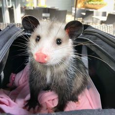 Happy Animals, Animals And Pets, Funny Animals, Cute Animals, Baby Possum, In This World, Opossum, Animal Heads, Cute Animal Pictures