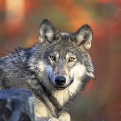 Return of Wolves to Yellowstone Benefits Entire Ecosystem