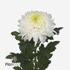 Chrysant Single Magnum is a White disbudded, single headed cut flower. It is approx. Autumn Flowers, May Flowers, Amazing Flowers, Fresh Flowers, April Wedding, Summer Wedding, Wedding Flower Arrangements, Wedding Flowers, White Chrysanthemum