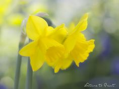 Kunstdruck, Fototapete oder Leinwandbild Hoffnungsträger gelbe Narzissen.