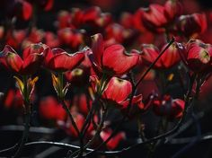 Pink Dogwood  Photo by Ivan Lesica — National Geographic Your Shot