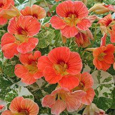 Alaska Apricot nasturtium seeds - Garden Seeds - Annual Flower Seeds