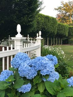 Hydrangeas in the Newport Landscape Garden Trellis, Garden Gates, Bellevue House, City By The Sea, Small Ponds, Garden Buildings, Flowering Shrubs, French Country Cottage, Seasonal Flowers