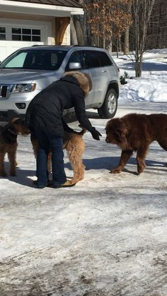 Watch Shaggy, the wandering Newfoundland, play with neighborhood dogs before capture | MLive.com