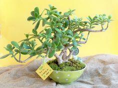 #crassula #jade #bonsai #tree #succulents #Planting #gifts #cactus_shop