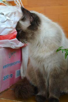 Image result for котята метисы русской голубой рыжими пятнами черепашки