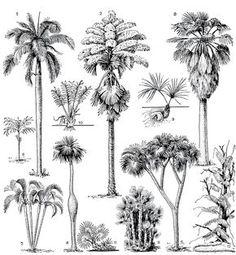 Рис. 231. Формы роста пальм. Древовидные: 1 - кубинская королевская пальма (Roystonea regia); 2 - корифа зонтоносная (Corypha umbraculifera); 3 - вашингтония нитеносная (Washingtonia filifera); 4 - барригона (Colpothrinax wrightii); 5 - гифена фивийская, или дум-пальма (Hyphaene thebaica. Кустарниковидные; 6 - хамедорея ланцетовидная (Chamaedorea lanceolata); 7 - хризалидокарпус желтоватый (Chrysalidocarpus lutescens); 8 - ацелорафа Райта (Acoelorraphe wrightii). 'Бесстебельные': 9… Landscape Architecture Drawing, Landscape Sketch, Landscape Drawings, Watercolor Landscape, Plant Sketches, Tree Sketches, Drawing Sketches, Art Drawings, Nature Sketch
