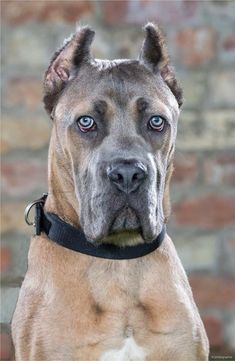 Cane Corso For Sale, Clever Dog, Military Dogs, Dog Costumes, Dog Walking, Dog Life, New Pictures, Dog Training, Best Dogs