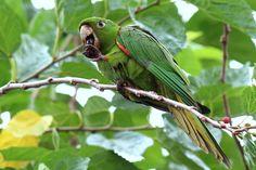 Foto periquitão-maracanã (Aratinga leucophthalma) por Gilmar Barros   Wiki Aves - A Enciclopédia das Aves do Brasil