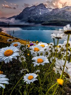 """""""Daisies,"""" by Bliss Carmen """"Over the shoulders and slopes of the dune, I saw the…"""