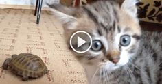 This Kitten Has No Idea What To Make Of This Tortoise!