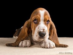 Tri-coloured Basset hound puppy lying down looking sad