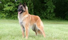 Belgian Tervuren Breed Information