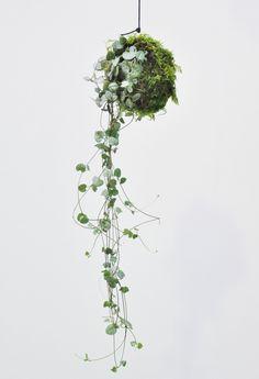 Verabschieden Sie sich von der klassischen Innenraumbegrünung und holen Sie sich den neusten Trend im Moosball! Die Ceropegia woodii ist auch unter dem Namen Leuchterblume bekannt und kennzeichnet sich durch die hängende...