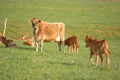 Using nurse cows can be a money saving way to raise and feed dairy calves.  Here are some tips for making it work at your place.