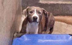 DIES TUES 10/14/14 7PM - ODESSA SUPER URGENT - Staffordshire terrier female 2-3 years old Kennel A28 -Available NOW**** $51 to adopt Located at Odessa, Texas Animal Control. Must have a valid Drivers License and utility bill with matching address to adopt. They accept Credit Cards, cash or checks. We ARE NOT the pound. We are volunteers who network these animals to try and find them homes. Please send us a PM if we can answer any questions for you.